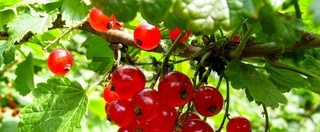 rote johannisbeere - redcurrant