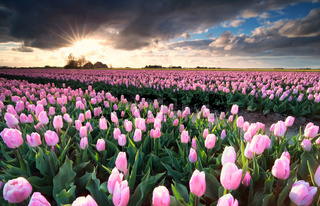 sunshine over pink tulip field