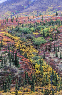 Tundralandschaft im Herbst / Denali Nationalpark  -  Alaska