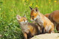 european red fox cubs in natural habitat ( Vulpes )