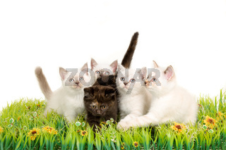 Portrait of five British Shorthair Kittens sitting, 8 weeks old,