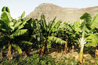 Bananenplantage im Valle Gran Rey.