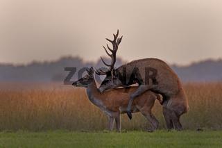 Rothirsche (Cervus elaphus), Paarung, Nationalpark Hoge Veluwe, Gelderland, Niederlande, Europa