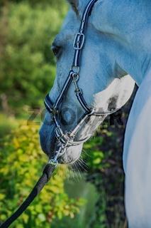 portrait of Lipizzaner horse.  close up