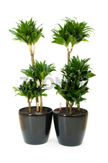 Dracaena plant isolated on the white background