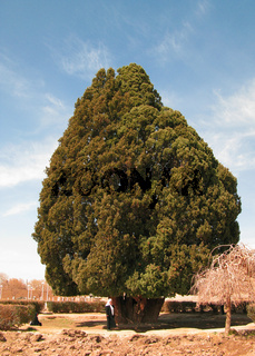 ancient living cypress tree, the Sarv-e-Abarqu in comparison with a local, Abarkuh , Iran