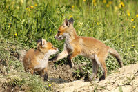 european red fox brothers playing in clearing ( Vulpes )