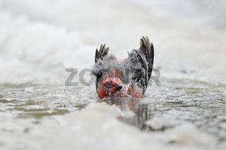 splish-splash... Hakengimpel *Pinicola enucleator*