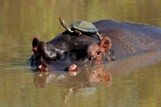 Hippopotamus and terrapin (k)