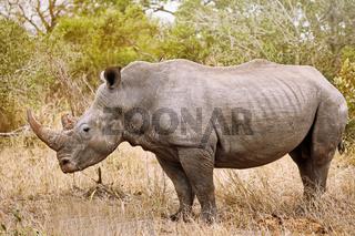 Breitmaulnashorn im Kruger Nationalpark, Südafrika, white rhinoceros, South Africarhinoceroses, South Africa