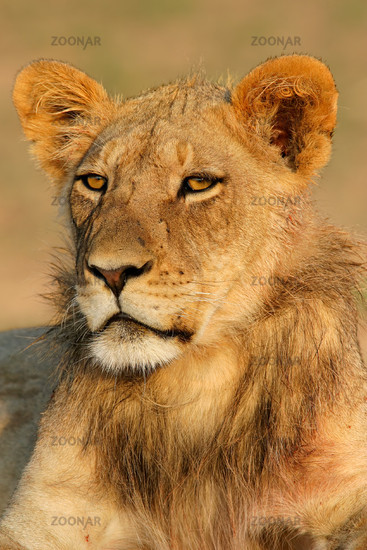 Young African lion