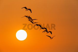 the wild geese in sunset