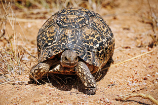Pantherschildkröte, Leopardschildkröte, Kruger Nationalpark, Südafrica; leopard tortoise, south africa, wildlife