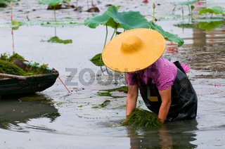 A woman with hat working in lotus pool
