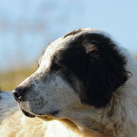 portrait of motley romanian shepherd dog