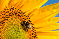 Nahaufnahme einer Hummel die auf einer Sonnenblume Blüte läuft