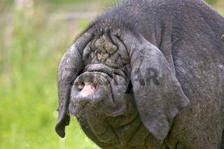 Chinesisches Maskenschwein
