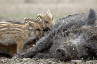 Wildschwein (Sus scrofa), Schwarzwild, Weibchen, Bache sŠugt Frischling, Schleswig Holstein, Deutschland, Europa