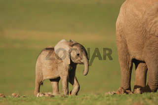 Elephant - Elefant Addo Elephant National Park - South Africa