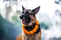 Kukur Tihar (dog festival) in Kathmandu, Nepal