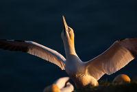 Basstölpel mit gespreizten Flügeln