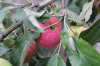 Red ripe apples on branch 20510
