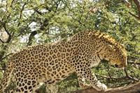 Climbing Leopard (Panthera pardus)