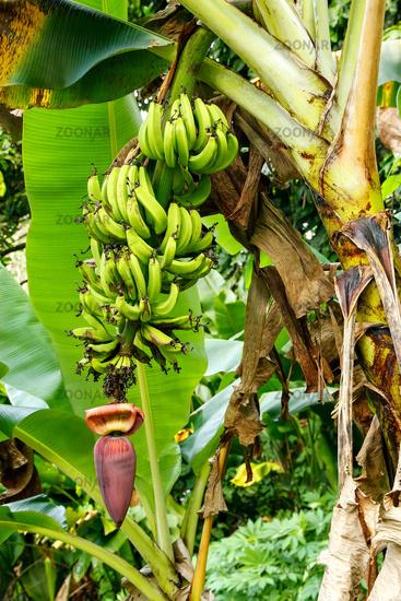 Bananas growing in the jungle on Taveuni Island, Fiji