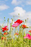 Rote und rosa Mohnblumen ragen in den blauen Himmel