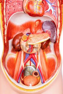 Human torso model with organs