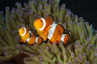 Westlicher Clownfisch in Seeanemone