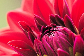 Surrealer Blütenkopf in Lila mit Rosa Blättern