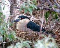 Nesting Night Heron Bird