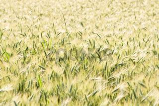 Weizenfeld cornfield