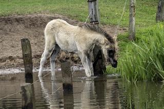 Fohlen im Wasser, wild lebende Pferde im Merfelder Bruch, Dülmen, Nordrhein-Westfalen, Juni,