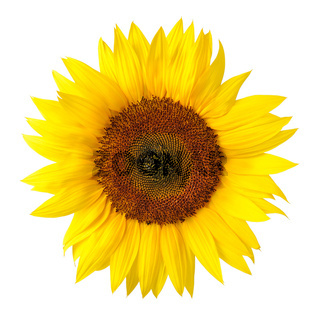 The perfect sunflower on white