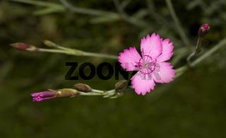 Heidenelke 'Dianthus deltoides'