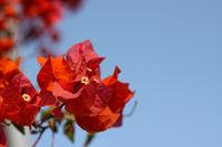 Blüte aus Ägypten