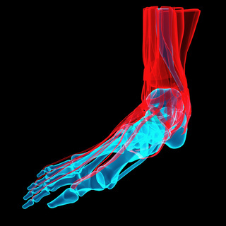 3D illustration of a foot with bones and tendons