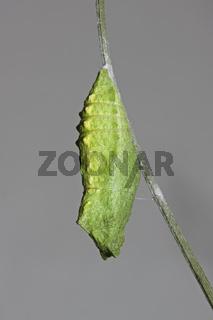 Schwalbenschwanz Puppe Papilio machaon