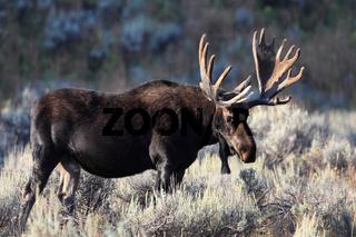 Elchebulle im Teton National Park USA