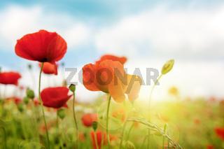 Poppies field in rays sun.