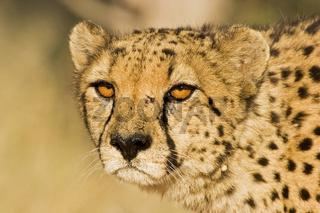 Gepard, Portrait, Namibia, Afrika, cheetah (Acinonyx jubatus), Africa