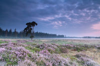 pink flowering heather at sunrise