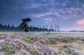 pink flowering heather at sunrise