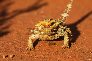 Close up of a Thorny Devil in the Australian outback, facing, Northern Territory, Australia