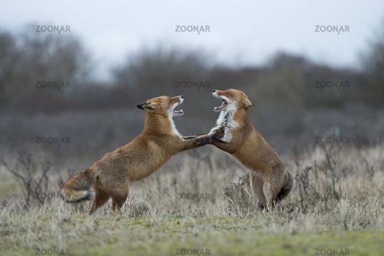 auf den Hinterpfoten... Rotfüchse *Vulpes vulpes*