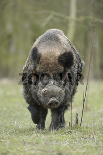 das letzte Bild... Wildschwein * Sus scrofa *, kräftiger Keiler