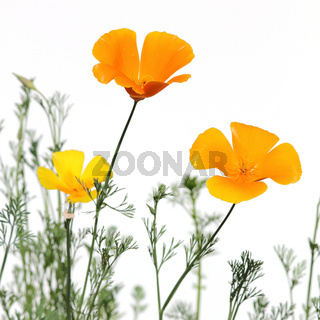 Goldmohn,  california poppies,  eschscholzia californica