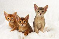 ABESSINIER WILDFARBEN, ABYSSINIAN CAT, RUDDY, WILDLOOKING,